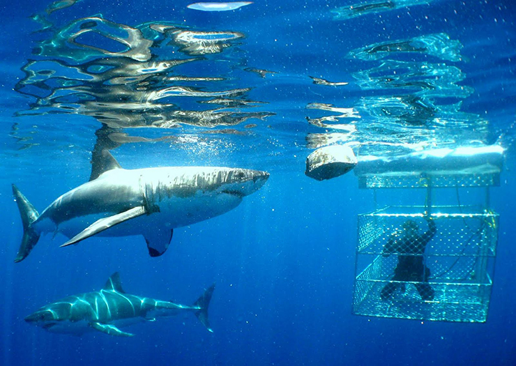 world adventures: Swimming with sharks, South Africa world adventures Top 10 amazing world adventures Swim With Great White Sharks 171