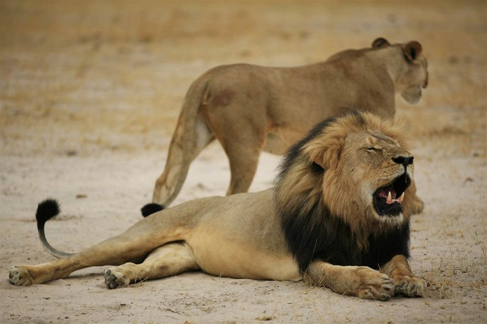 Cecil The Lion last spark of Nature's most famous creature (2) Cecil The Lion: last spark of Nature's most famous creature Cecil The Lion: last spark of Nature's most famous creature Cecil The Lion last spark of Natures most famous creature 2