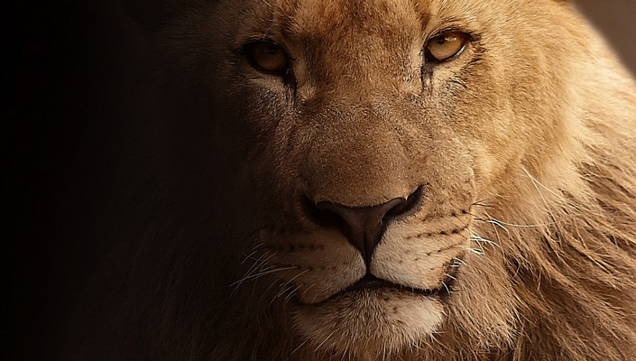 Cecil The Lion last spark of Nature's most famous creature (3) Cecil The Lion: last spark of Nature's most famous creature Cecil The Lion: last spark of Nature's most famous creature Cecil The Lion last spark of Natures most famous creature 3