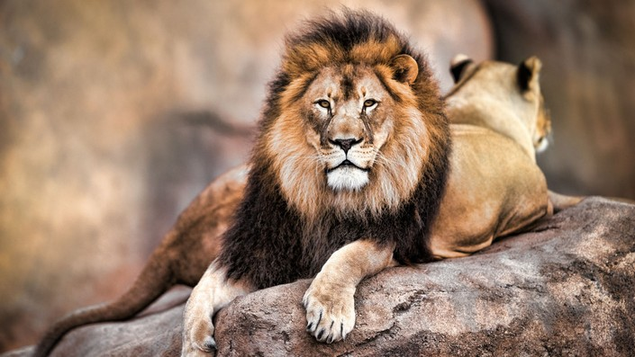 Cecil The Lion last spark of Nature's most famous creature (4) Cecil The Lion: last spark of Nature's most famous creature Cecil The Lion: last spark of Nature's most famous creature Cecil The Lion last spark of Natures most famous creature 4