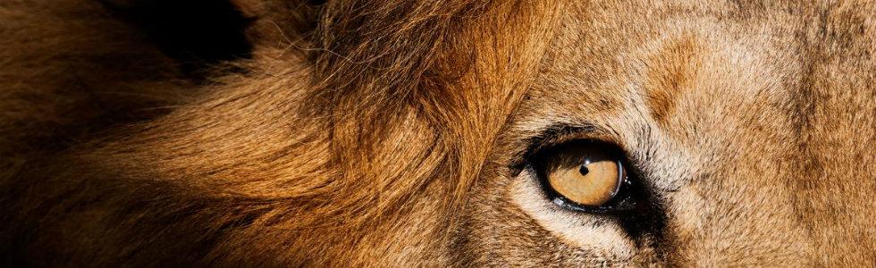 Cecil The Lion: last spark of Nature's most famous creature