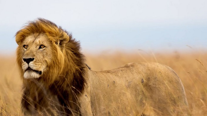 Cecil The Lion last spark of Nature's most famous creature (6) Cecil The Lion: last spark of Nature's most famous creature Cecil The Lion: last spark of Nature's most famous creature Cecil The Lion last spark of Natures most famous creature 6