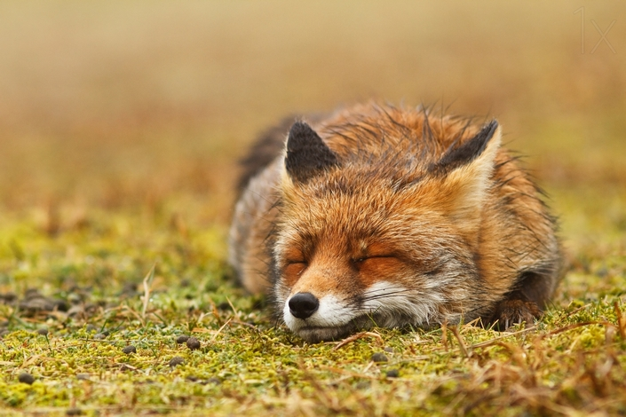 These photos of Foxes enjoying their time will make your day 1 wild foxes These photos of Wild Foxes enjoying their time will make your day These photos of Wild Foxes enjoying their time will make your day 1