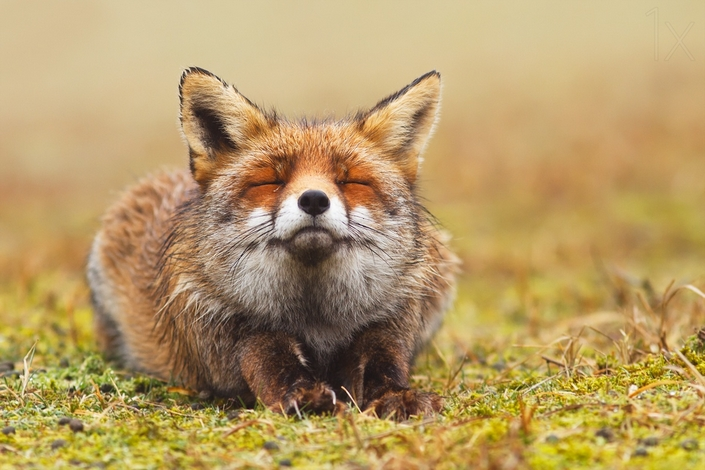 These photos of Foxes enjoying their time will make your day 3 wild foxes These photos of Wild Foxes enjoying their time will make your day These photos of Wild Foxes enjoying their time will make your day 3