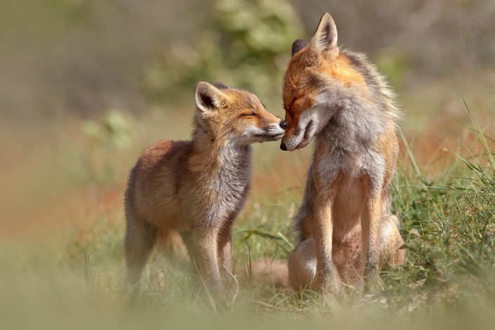 These photos of Foxes enjoying their time will make your day 5 wild foxes These photos of Wild Foxes enjoying their time will make your day These photos of Wild Foxes enjoying their time will make your day 5