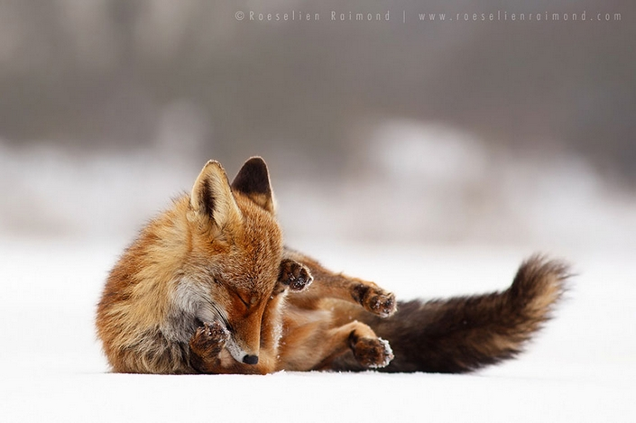 These photos of Foxes enjoying their time will make your day 6 wild foxes These photos of Wild Foxes enjoying their time will make your day These photos of Wild Foxes enjoying their time will make your day 6