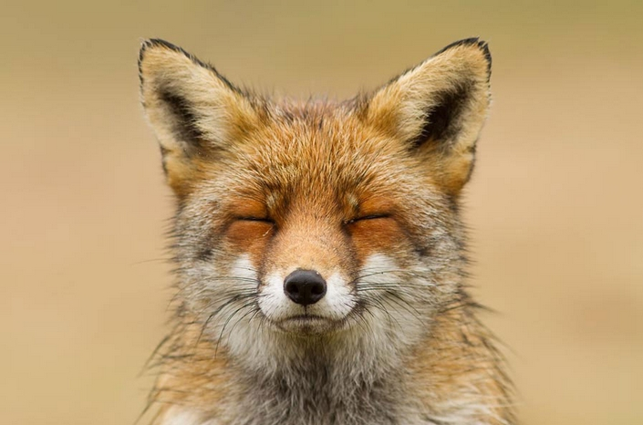 These photos of Foxes enjoying their time will make your day 7 wild foxes These photos of Wild Foxes enjoying their time will make your day These photos of Wild Foxes enjoying their time will make your day 7